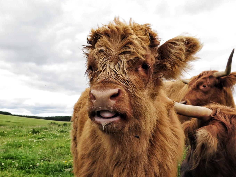 Cardhu cow